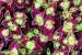 AdeniumPBG 028-001