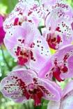 AdeniumPBG 043rsl