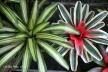 AdeniumPBG 089-001