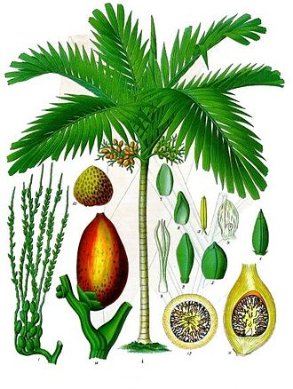 Areca_catechu_-_Köhler–s_Medizinal-Pflanzen-014
