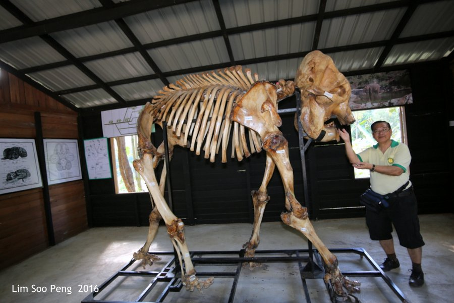 Day 3.8 ~ Visit to the Green Hill Valley Elephant Camp - A Visit to the Green Hill Valley Elephant Camp's Vet. Later to the Museum showing blogger with the skeleton of a faithful elephant.